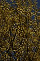 Salix tetrasperma Indian Willow tree from Anaimalai Tiger Reserve JEG1563.JPG