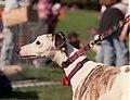 Saluki at 2002 Pet Pride Day.jpg