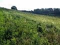 Salvia aethiopis sl22.jpg
