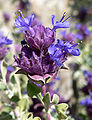 Salvia dorrii var dorrii 4.jpg