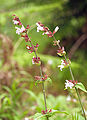 Salvia officinalis LC0057.jpg
