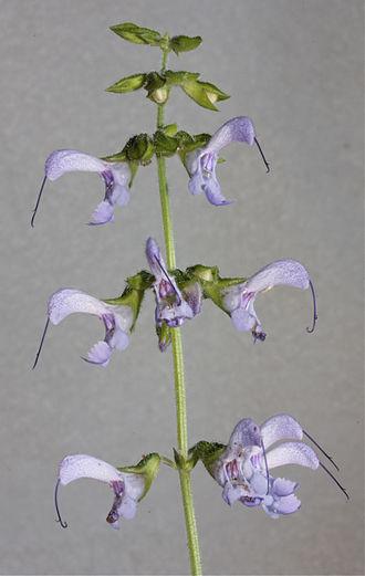 Salvia miltiorrhiza - Image: Salviamiltiorrhiza