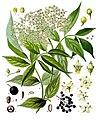 Sambucus nigra - Köhler–s Medizinal-Pflanzen-127.jpg