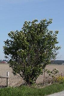 <i>Sambucus racemosa</i> species of plant