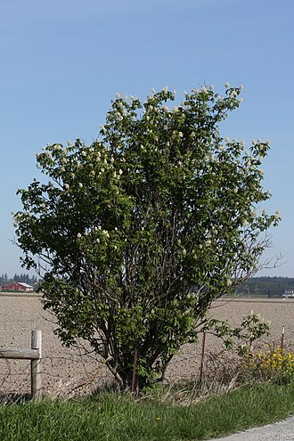 Sambucus racemosa - Image: Sambucus racemosa 6261