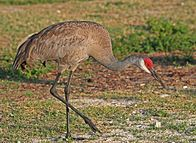 This image has an empty alt attribute; its file name is 196px-Sandhill_Crane_JCB.jpg
