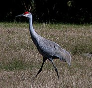 Sandhill Cranes - Hillsborough River State Park