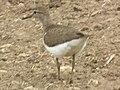 Sandpiper in Tanzania 3099 cropped Nevit.jpg