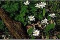 Sanguinaria canadensis 9zz.jpg