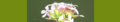 Saponaria officinalis. Reader.png