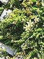 Saxifraga bryoides02.jpg