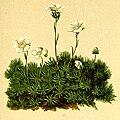 Saxifraga burseriana Atlas Alpenflora.jpg