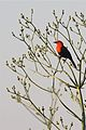 Scarlet-headed Blackbird (4303104746).jpg