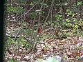 Scarlet Tanager Durham, Maine.jpg