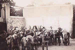 Scarteen - Scarteen Hunt hounds in the 1930s