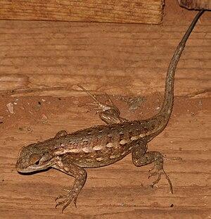 Sagebrush lizard - Image: Sceloporus graciosus az