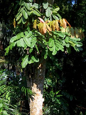 Kusum oil - A Kusum tree