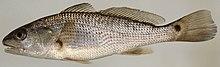 Sciaenops ocellatus (S0230) (12527956414).jpg