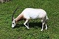 Scimitar oryx (42287718584).jpg