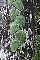 Scindapsus pictus 3358.jpg
