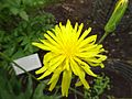 Scorzonera hispanica, Beal Garden.jpg