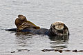 Sea Otter at Piedras Blancas.jpeg
