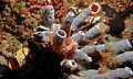 Sea Slug (Flabellina rubrolineata) on Tube Sponges (Niphatidae) (8456997646).jpg