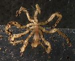 Морски паук