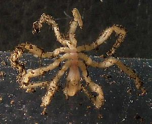 Sea spider - Image: Sea spider