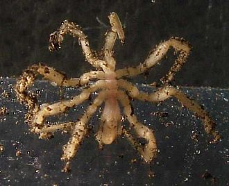 Axial Seamount - Sericosura verenae, a vent sea spider commonly found on Axial Seamount.