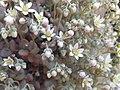 Sedum dasyphyllum Piazzo 01.jpg