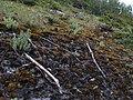 Sedum villosum habitat 2018-07-09.jpg