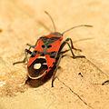 Seed Bug (16080038566).jpg