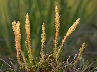 <i>Selaginella selaginoides</i>