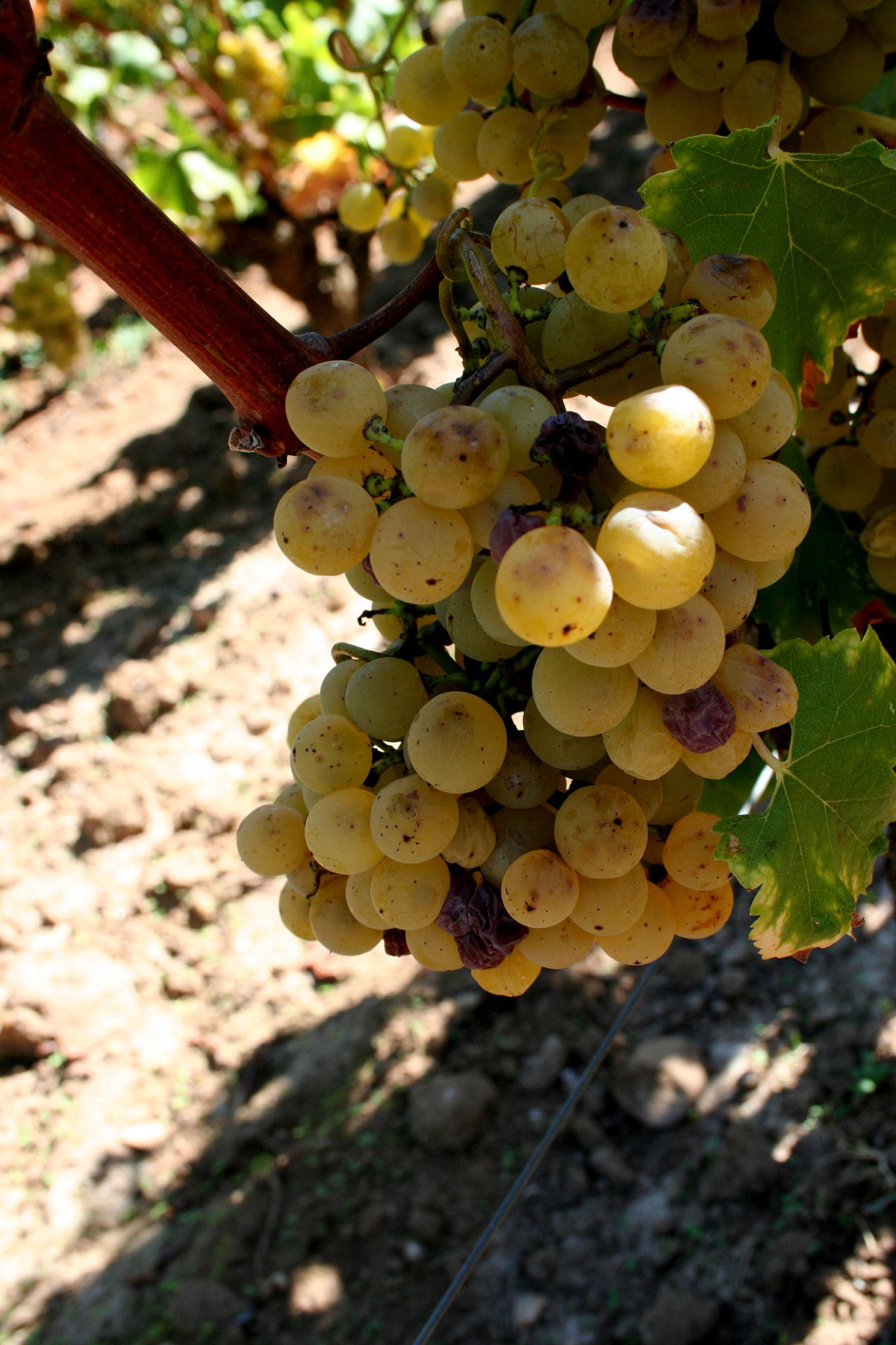Semillon starting to get noble rot at Château Doisy-Védrines, Barsac, Sauternes