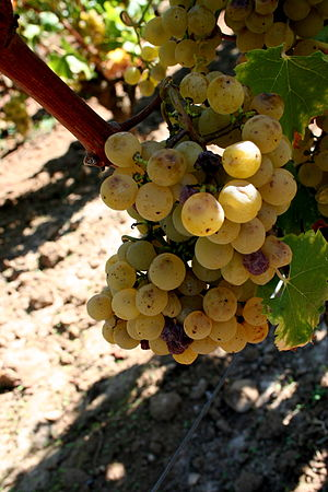 Sémillon - Semillon showing signs of developing noble rot in the Barsac region of Bordeaux.