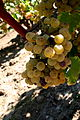 Semillon starting to get noble rot at Château Doisy-Védrines, Barsac, Sauternes.jpg