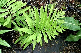 Sensitivefern.jpg