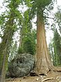 Sequoia and Giant Boulder by the Meadow - panoramio.jpg