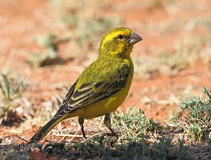 Yellow canary - Male in Mokala National Park