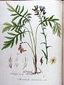 Serratula tinctoria — Flora Batava — Volume v9.jpg