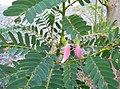 Sesbania grandiflora023 144816 p 1 1.jpg