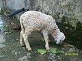 Sheep100 2732.jpg