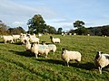 Sheep at Berrington Hall Parkland - geograph.org.uk - 620831.jpg