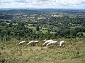 Sheep grazing on Perseverance Hill - geograph.org.uk - 527428.jpg