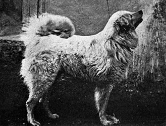 Maremma Sheepdog - Sheepdog of the Abruzzes circa 1915