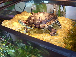 Red-eared slider - Red-eared slider basking on a floating platform under a sunlamp