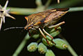 Shield Bug (Carpocoris purpureipennis) (10443346084).jpg