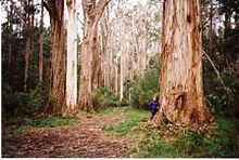 Shining Gum Forest Snowy River National Park.jpg