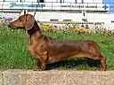 Short-haired-Dachshund.jpg